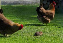 Video divertente di galline vs. topo (ninja) | TuttoSulleGalline.it