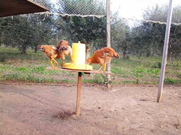 Piano sopraelevato anti-topo per mangime galline