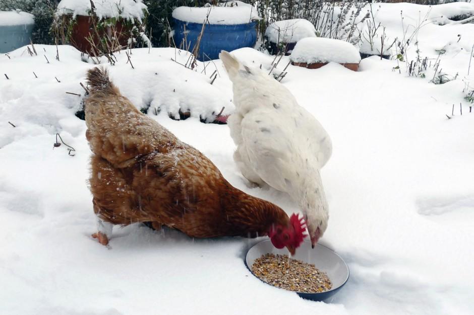 La dieta delle galline in inverno: maggiormente grassa e proteica