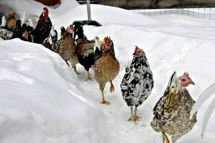 In inverno può essere necessario spingere le galline a muoversi, ad esempio posizionando il cibo in diversi punti