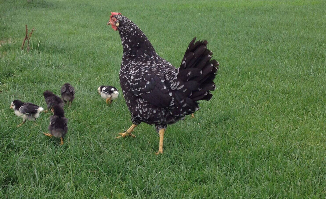 Un raro esempio di gallina ovaiola Ancona chioccia con i pulcini