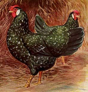 Disegno di due galline ovaiole Ancona nello standard FIAV
