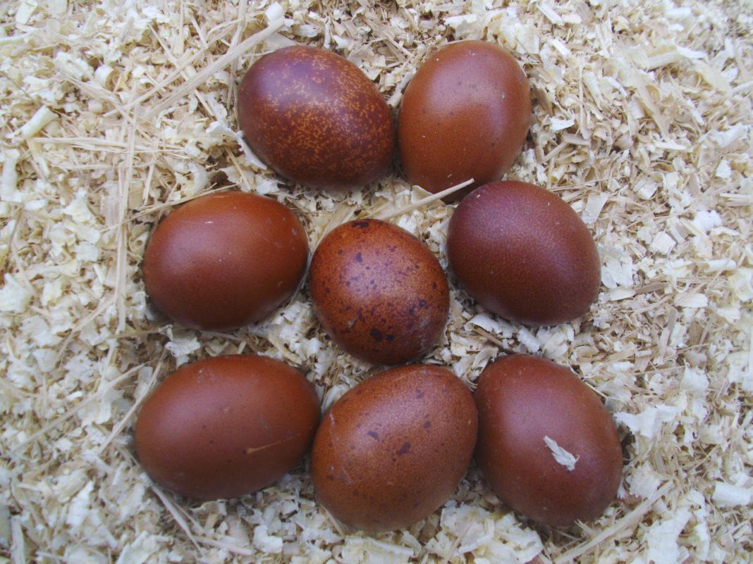 La colorazione bruna delle uova di galline ovaiole di razza Marans.