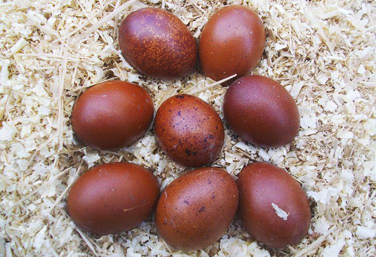 La colorazione bruna delle uova di galline ovaiole di razza Marans