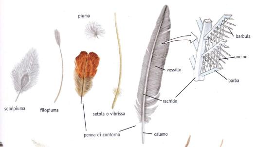 Caratteristicche della piuma della gallina ornamentale Moroseta che ne determina la sofficità del manto