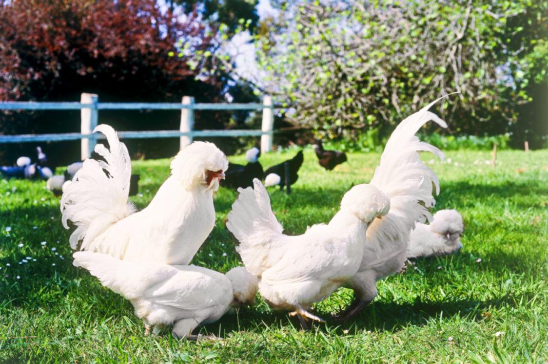 Le galline ovaiole Padovane ciuffate | TuttoSulleGalline.it