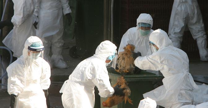 Abbattimenti selettivi di galline finalizzati al controllo della diffusione della malattia aviaria da virus A (H5N1)