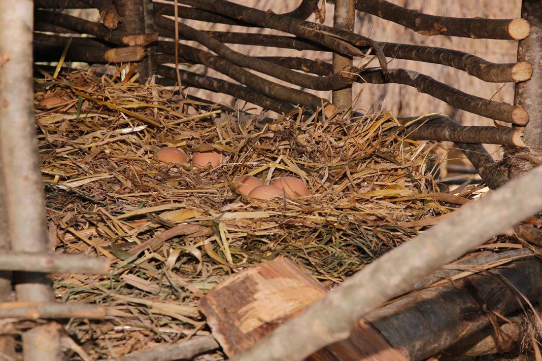 L'interno del pollaio medievale a palafitta con il fondo di paglia e le uova deposte