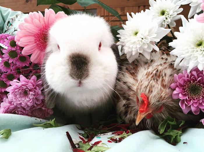 Gallina Mumble con il coniglio di casa