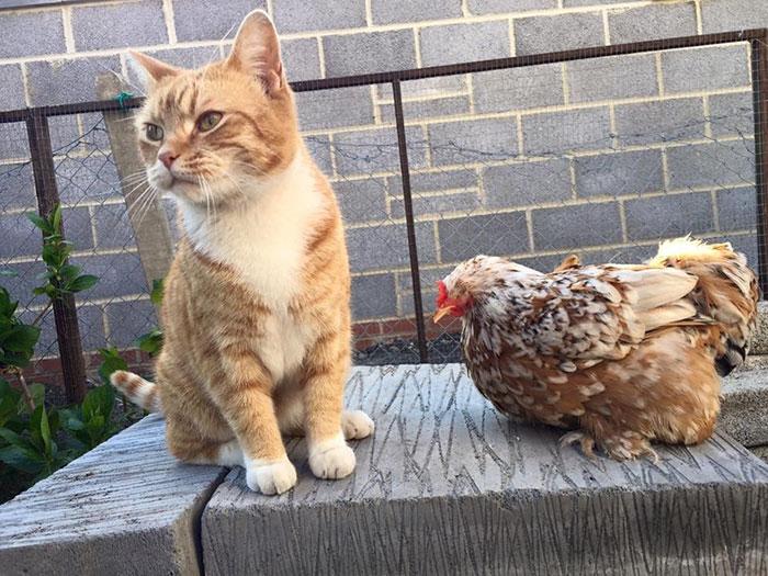 Gallina Mumble con gatto
