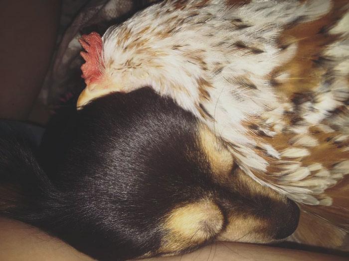 Gallina Mumble dorme accoccolata sul viso del cane