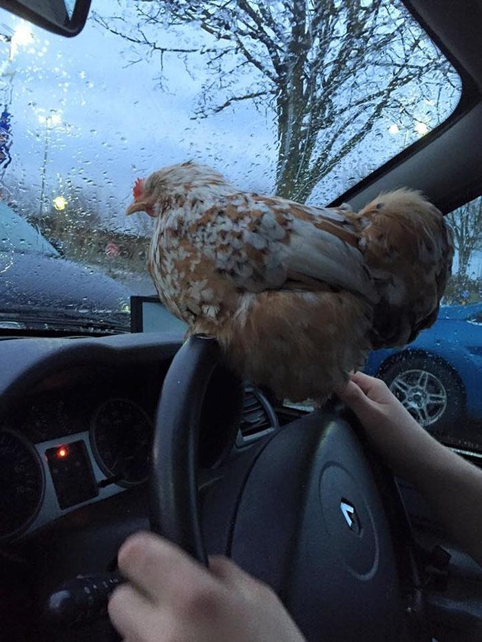 Gallina Mumble in auto