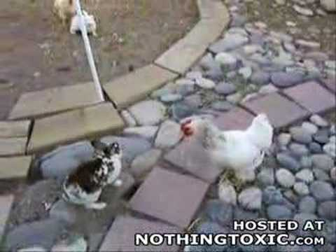 Video divertente di galline, temibili tutrici dell'ordine | TuttoSulleGalline.it