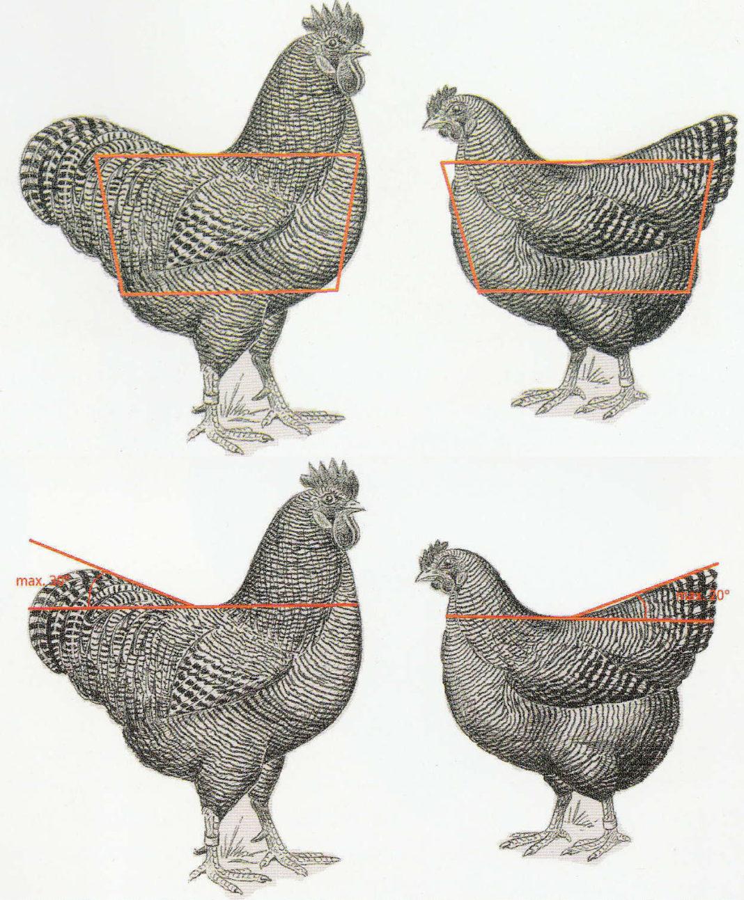 Disegno per riconoscimento gallina ovaiola di razza Plymouth Rock