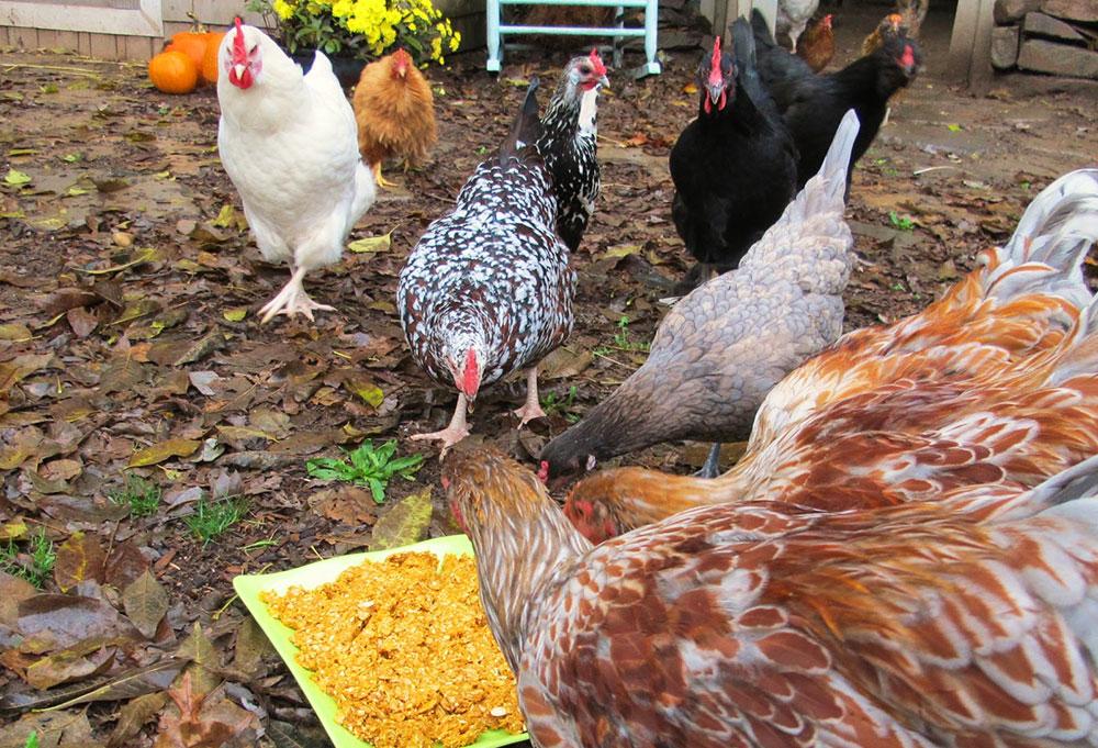 Curare le verminosi nelle galline con rimedi naturali