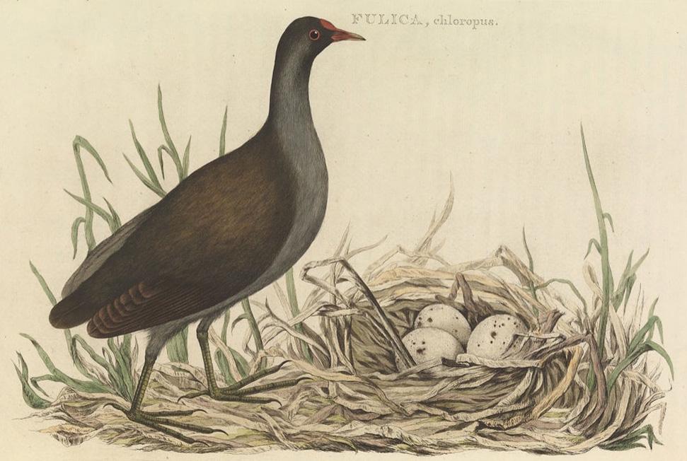 Gallinella d'acqua con le sue uova