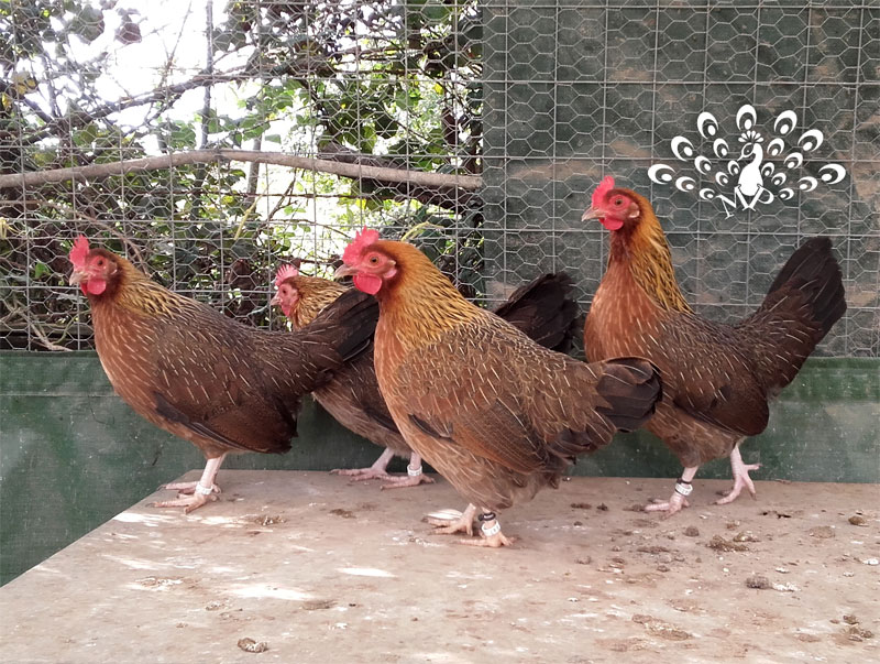 Gallina Mugellese collo oro | TuttoSulleGalline.it