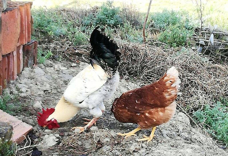Il gallo Carmelo con la gallina Gilda del pollaio di Sara
