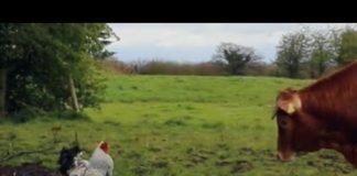 Gallo attacca mucca (video divertente) | Tuttosullegalline.it