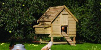 L'igiene del pollaio per la salute delle nostre galline | Tuttosullegalline.it
