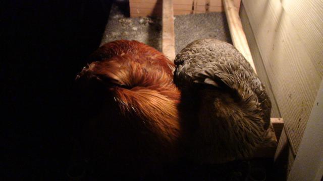 Galline che dormono all'interno del pollaio con porta crepuscolare