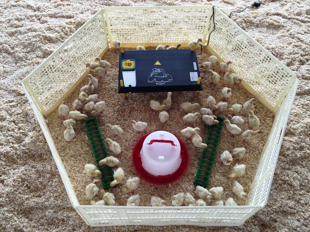 Pulcini: recinto Borotto con mangiatoia, abbeveratoio e scaldatore