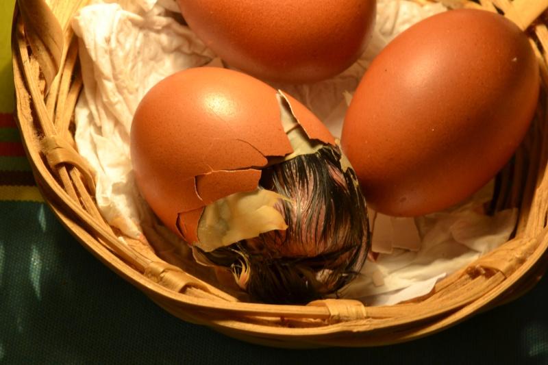 Schiusa delle uova e nascita di un pulcino Marans