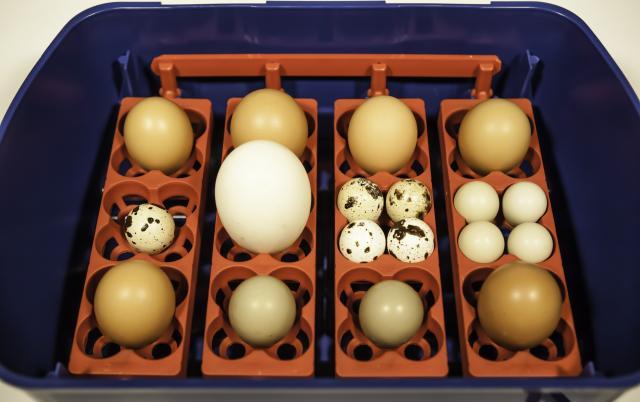 Incubatrici per uova Borotto: sistema ad alveoli universale
