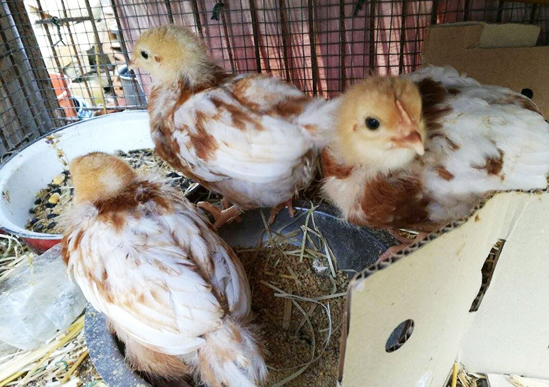 I tre pulcina di galline ovaiole del pollaio di Sara