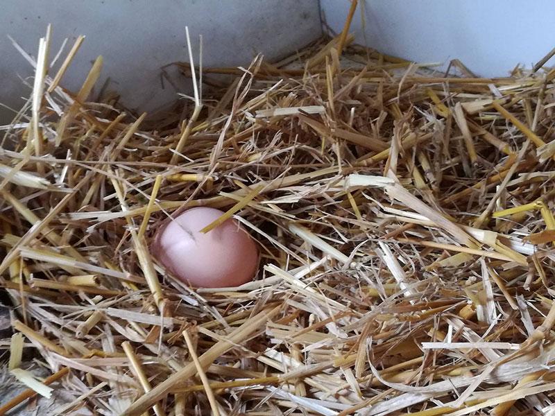 Una delle prime uova deposte dalle galline del pollaio di Sara