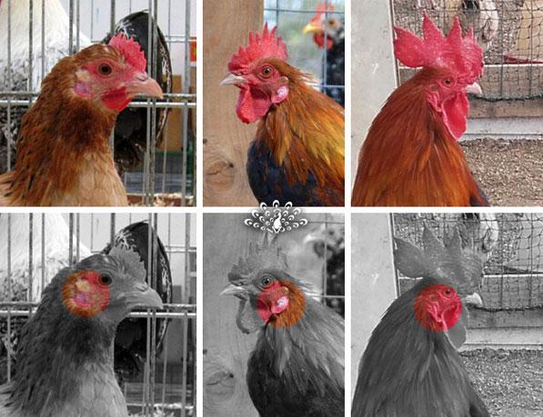 Variabilità dell'orecchione nella gallina mugellese