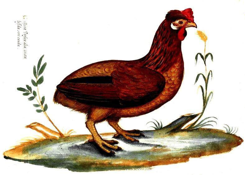 Ulisse Aldrovandi - 1600 - Gallina Persica - Gallina persiana Cresta doppia, fiocco e senza coda