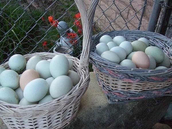 Bellissime ceste di uova di gallina Araucana