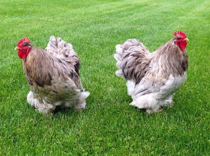 Galli di gallina ornamentali di razza Cocincina