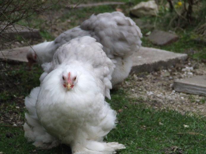 Cocincina nana e gigante: la peluche delle galline ornamentali | Tuttosullegalline.it