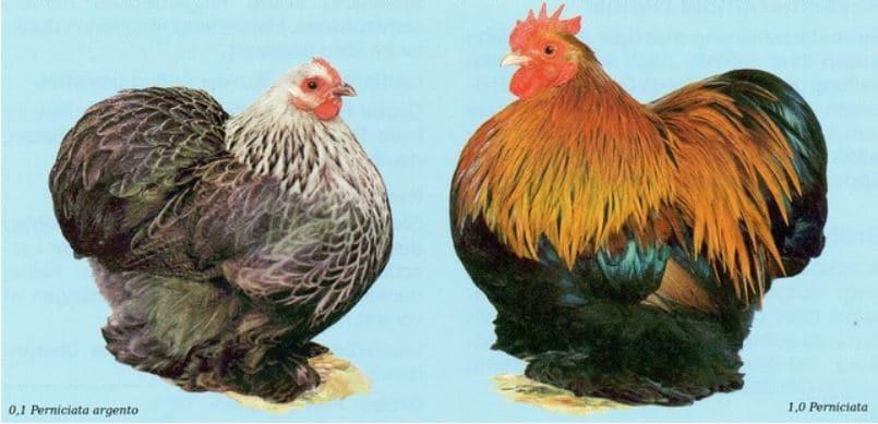 Lo standard FIAV della gallina ornamentale di razza Cocincina Nana