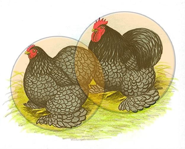 Cocincina, gallina dalle proporzioni sferiche perfette