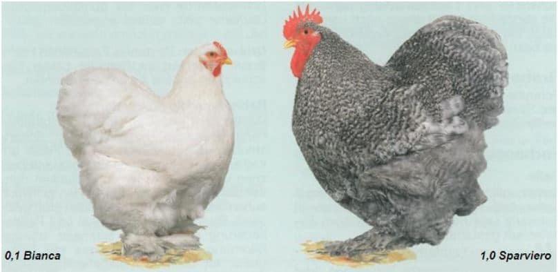 Standard FIAV per le galline di razza Cocincina gigante e nana