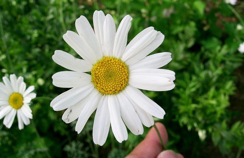 Fiore di piretro da cui si ricavano insetticidi bio utili anche contro i pidocchi pollini