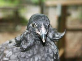 Araucana (o Mapuche): gallina ornamentale dalle uova blu | Tuttosullegalline.it
