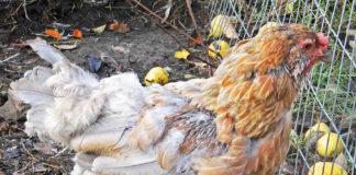La muta delle galline (naturale e forzata)   Tuttosullegalline.it