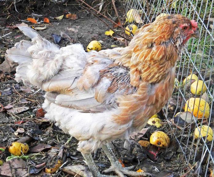 Muta delle galline (naturale e forzata) | Tuttosullegalline.it