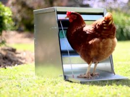 Mangiatoia per galline: come gestire beccatoi e rastrelliere nel pollaio | Tuttosullegalline.it