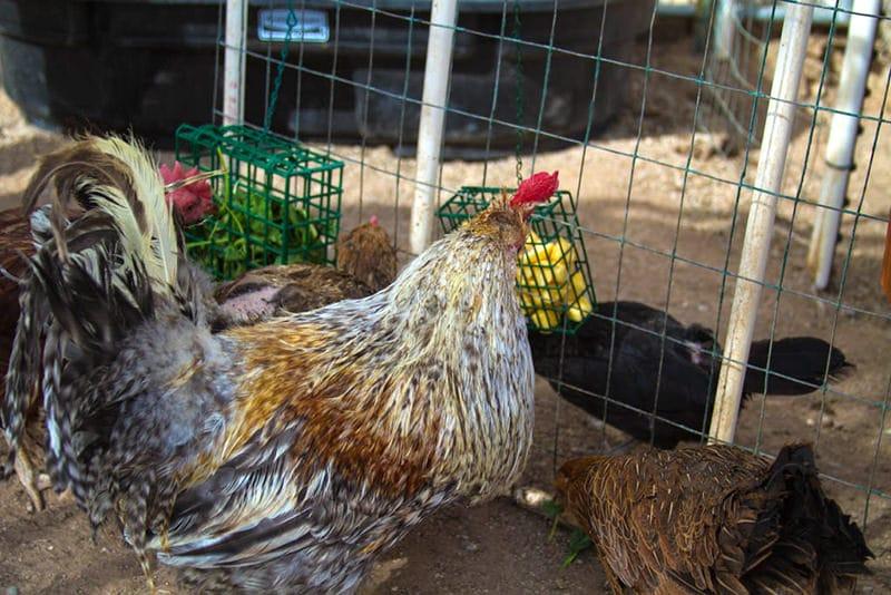mini mangiatoie per galline a rastrelliere