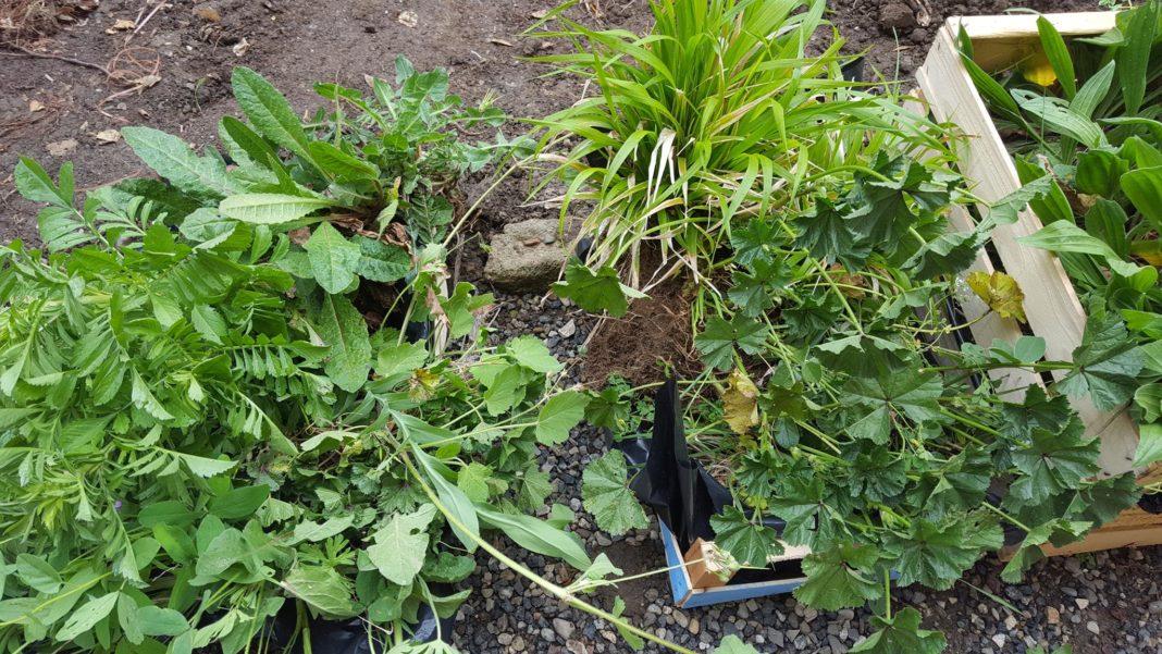 Le zolle di erbe spontanee raccolte