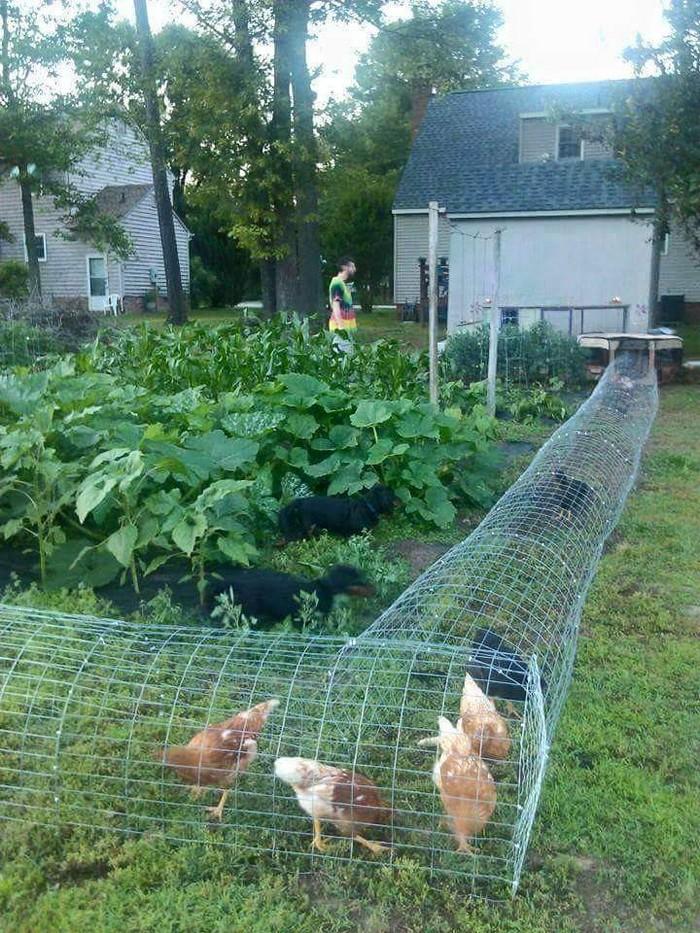 Sistemi di contenimento delle galline per proteggere l'orto