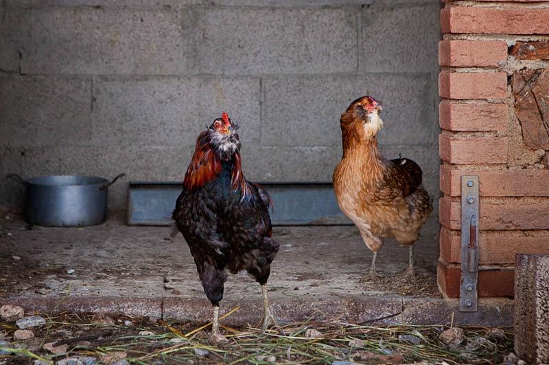 Coppia galline di razza Araucana | Agriturismo Poggio Diavolino