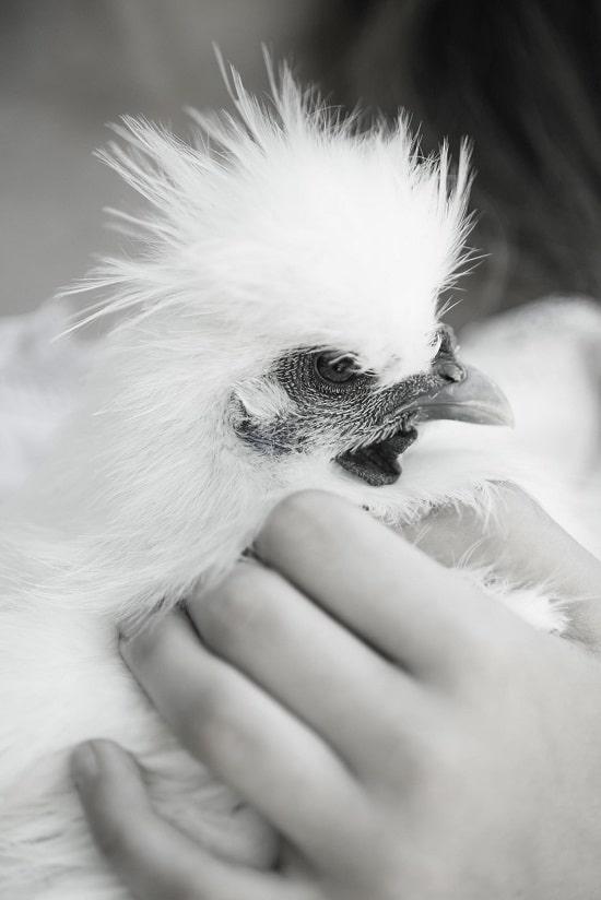 Foto Moda - bambina con gallina ornamentale moroseta
