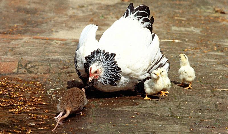 Gallina difende i pulcini dall'attacco di un grosso topo