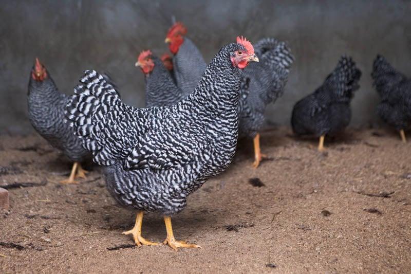 Galline razza Amrock - Agriturismo Poggio Diavolino